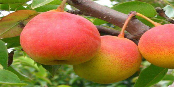 麗水3公分的黃金梨樹苗種植基地