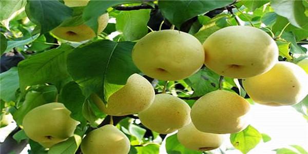 菏泽2公分的秋月梨树苗基地直销