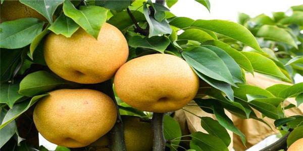连云港3公分的梨树苗现挖现卖