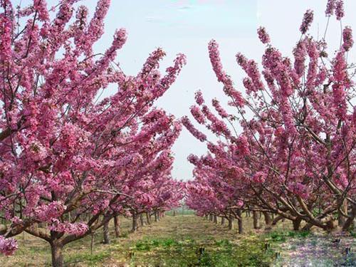 17公分海棠苗圃--河北省邯郸市福顺园林