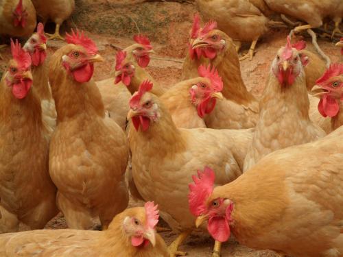 安远芦花鸡高安多少钱一只