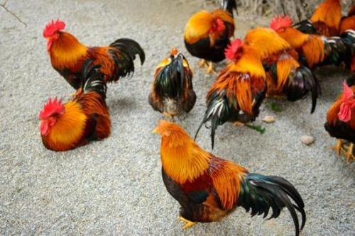 新建麻鸭苗宜黄种鸡养殖场