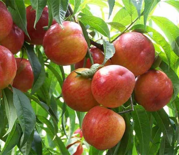 2公分桃树苗桃树苗单价-桃树苗年利润明顺果苗