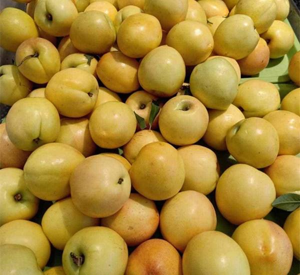 1公分油桃树苗单价、3公分油蟠桃树苗缓苗技术泰安果苗