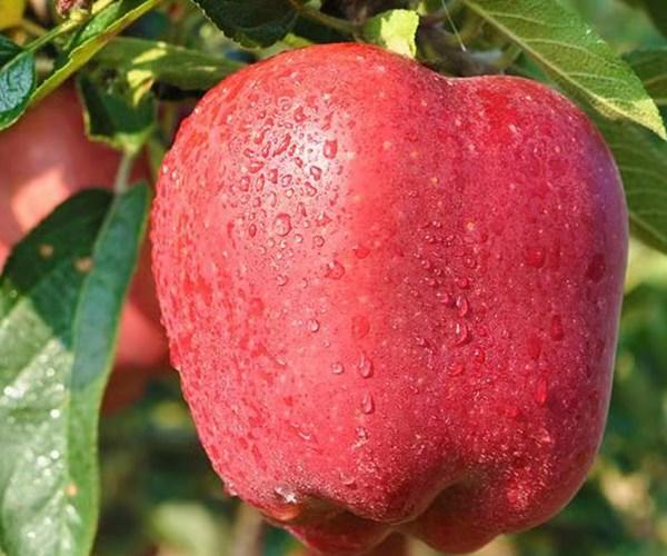 康乐县1公分瑞香红苹果苗基地 2公分瑞香红苹果苗促销价格