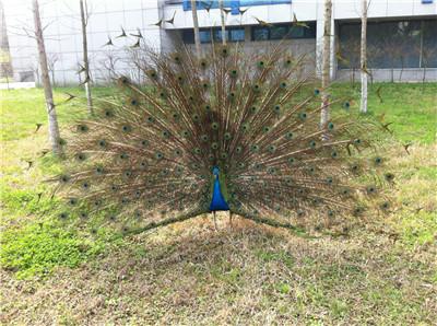 广州市各月龄孔雀价格  厂家供应散养花孔雀