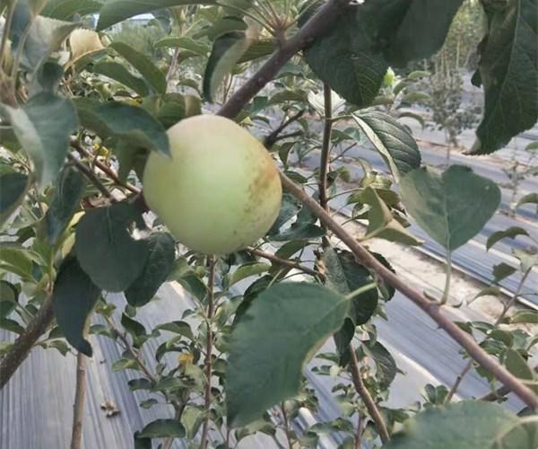 怀安苹果苗2公分花牛苹果苗基地价格