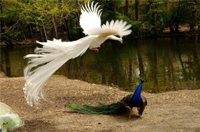 保山市珍禽孔雀养殖场  厂家供应成年开屏孔雀