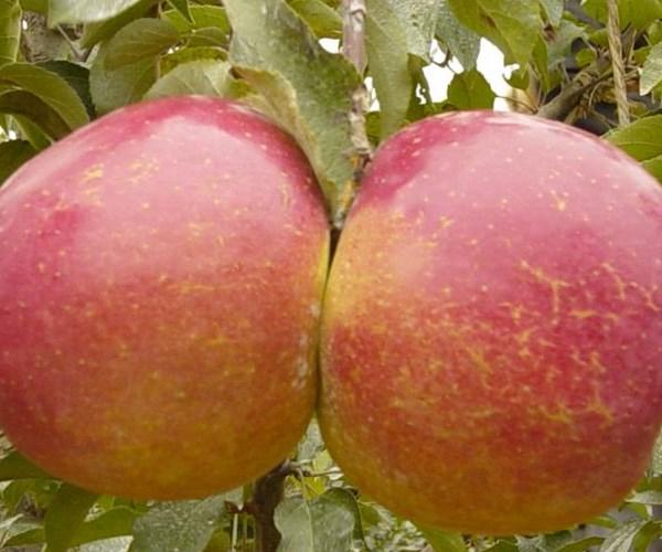 商城瑞香红苹果苗鸡心果苹果苗价格及报价