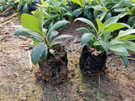 河北石菖蒲种植方法 紫荆品质保证