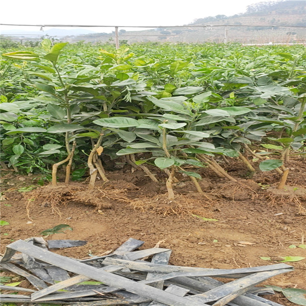 桂林秀峰哪里有好质量的泰红宝石青柚苗那家好主产地在平和