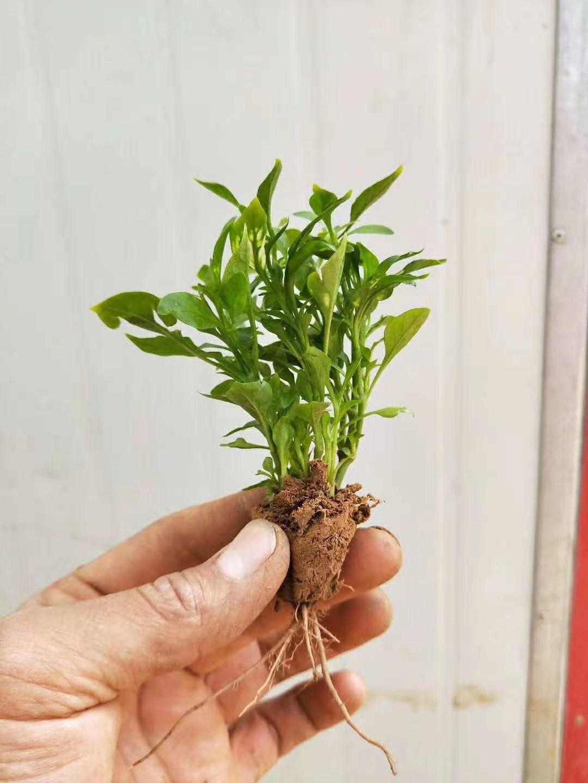 一分钟前发布:湖北恩施斑叶芒栽培技术