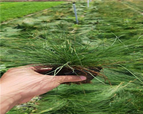 新闻:湖南株洲美国石竹种植指导