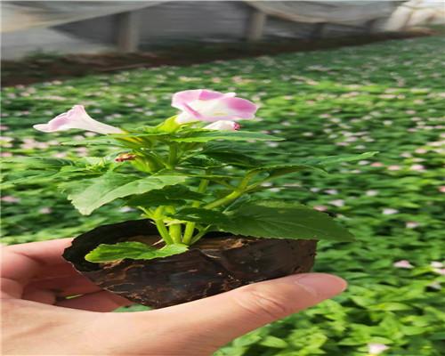 莅临:黑龙江哈尔滨蛇莓精品苗