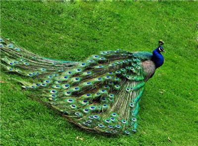 白蓝孔雀养殖场长期出售 成年观赏孔雀多少钱一只