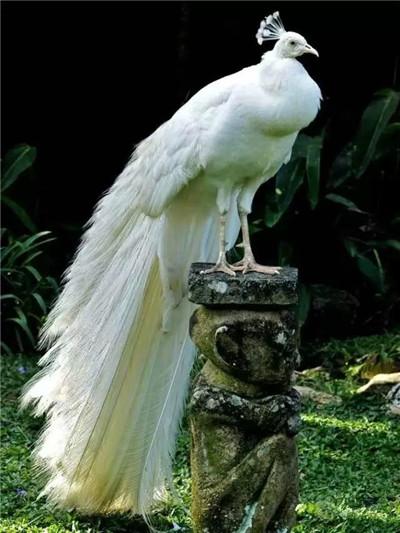 出售公园观赏白孔雀--白孔雀养殖条件_「阳泉孔雀养殖场」