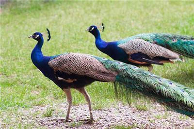 养殖场长期出售蓝孔雀苗 花孔雀厂家价格