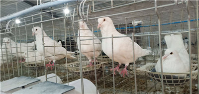 鸡西落地王鸽多少钱 {种鸽养殖}