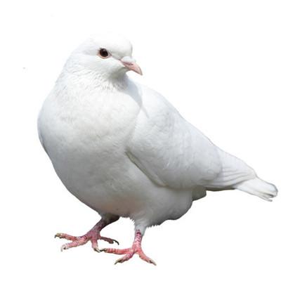 泸州种鸽养殖-泸州白羽王鸽多少钱一对