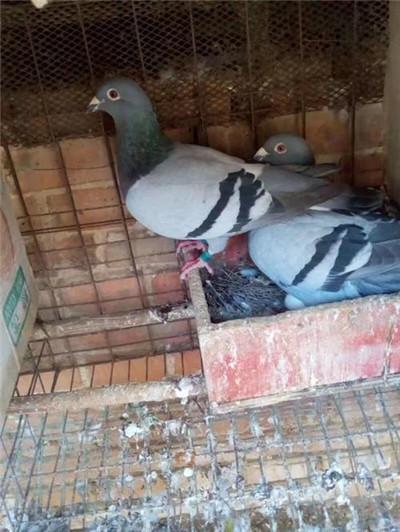 肉鸽|观赏鸽养殖--新乡元宝鸽|种鸽供应商