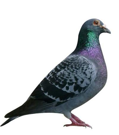 肉鸽|观赏鸽养殖--常德元宝鸽市场价