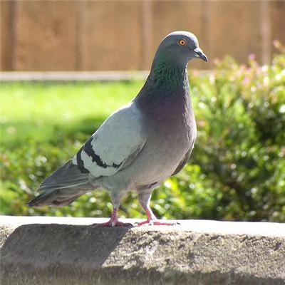 嘉兴白羽王种鸽养殖合作社