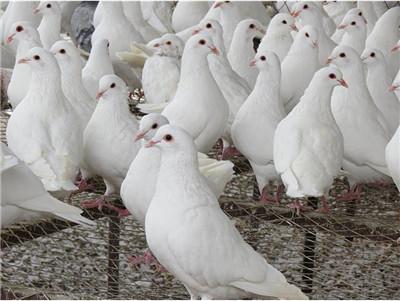 肉鸽|观赏鸽养殖--黄山青年落地王种鸽在线咨询