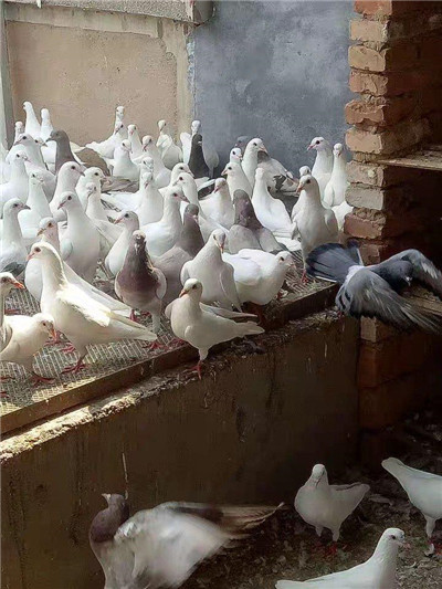昆明天使鸽|种鸽养殖专业合作社