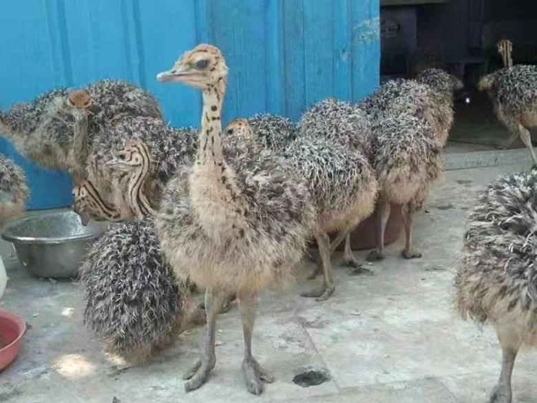北海非洲鸵鸟哪里卖