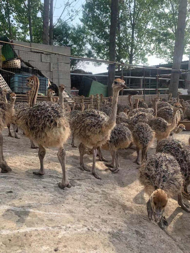成都非洲鸵鸟哪里有卖