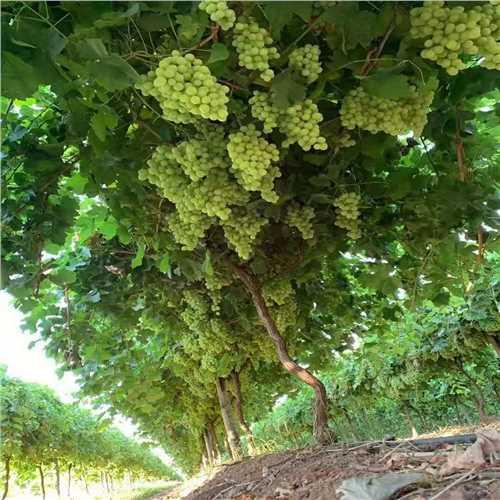 鄂州澳洲工作签招聘农场工人蔬菜种植工采摘工包装工