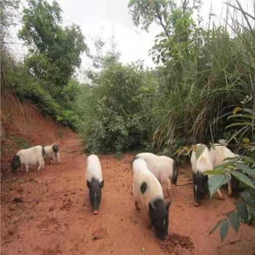 东营香猪猪苗市场价格