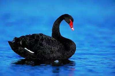盘龙黑天鹅养殖基地