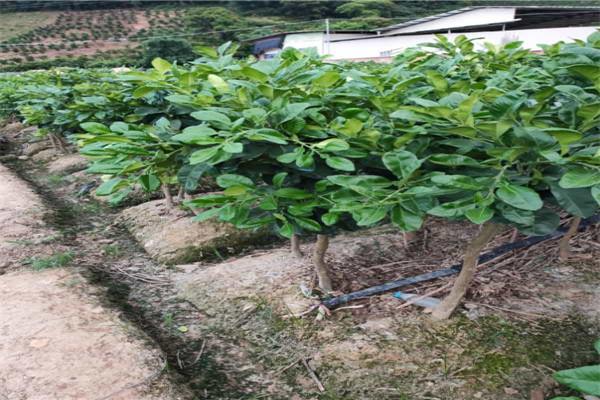 昭通永善红宝石青皮柚子苗欢迎采购-泰国青柚苗出售