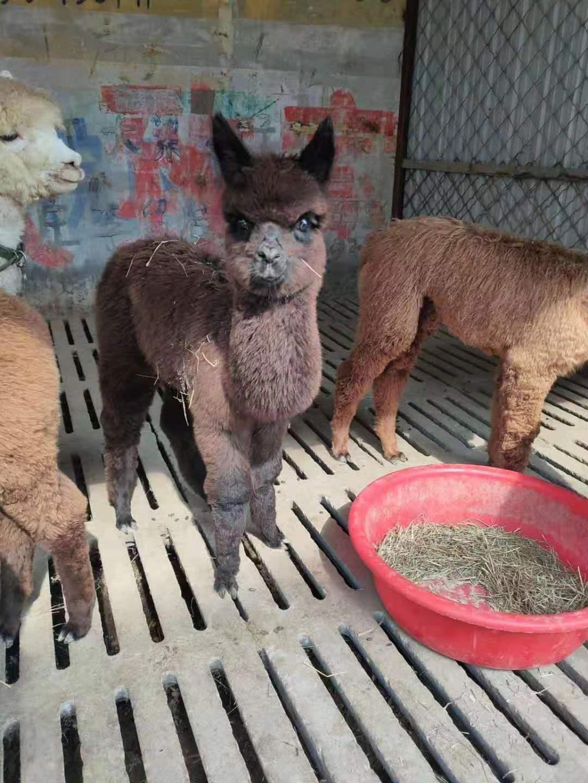 华容羊驼多少钱一只