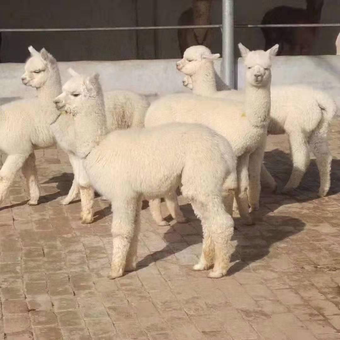 汉中苏利羊驼-羊驼哪里可以买到
