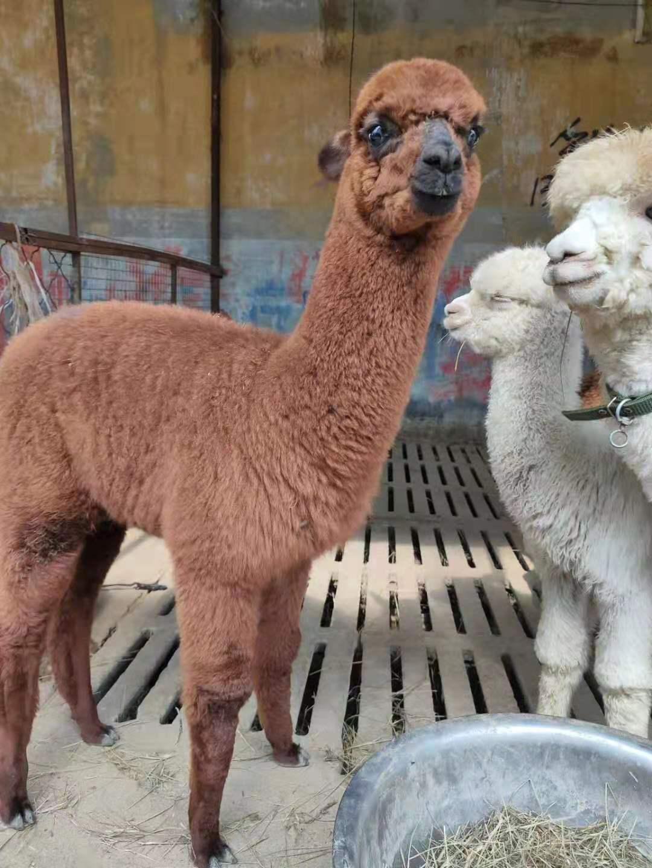 福鼎羊驼多少钱一只
