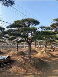 泰山高度5米造型景观松诚信商家?--福顺园林