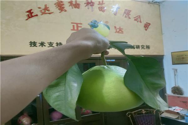 岱山泰国青柚苗有大苗-泰国柚苗枝条售卖