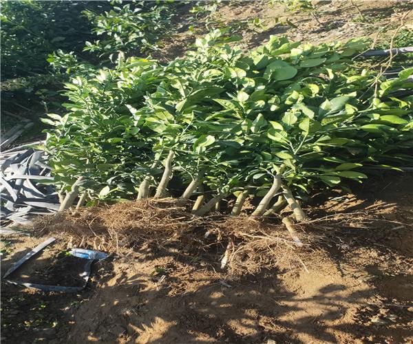 宁波象山高质量的泰国红宝石青柚苗咨询价格-青柚苗