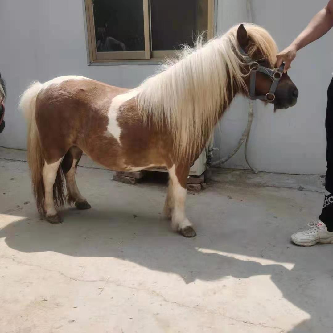 吉安成年矮马-骑乘马养殖方法