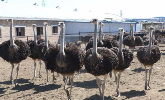 慶陽非洲鴕鳥多少錢一只