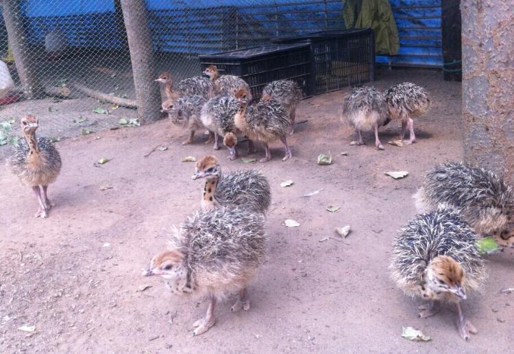 海宁鸵鸟养殖基地