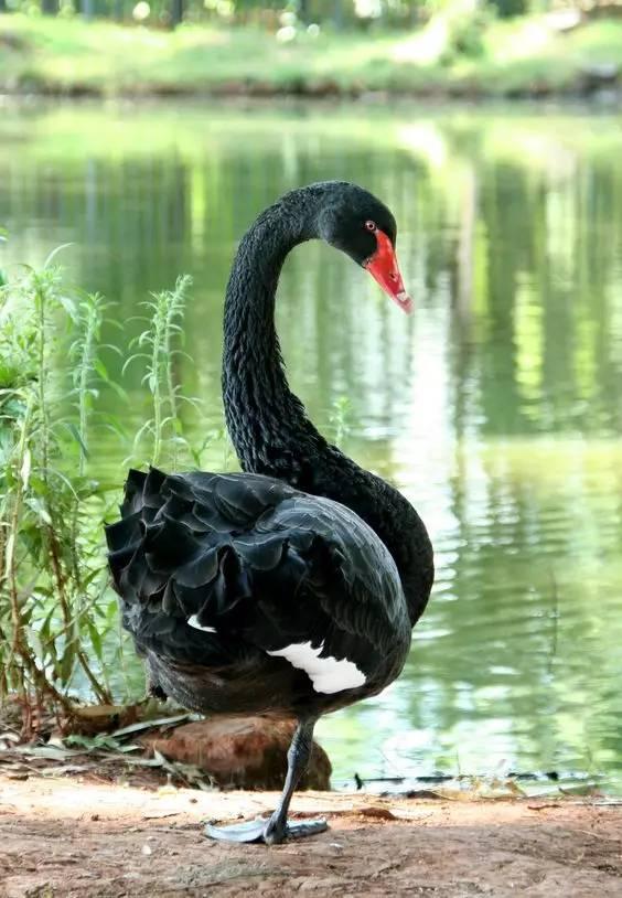 宁安黑天鹅-天鹅种类齐全