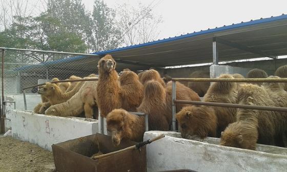 寻甸骆驼价格