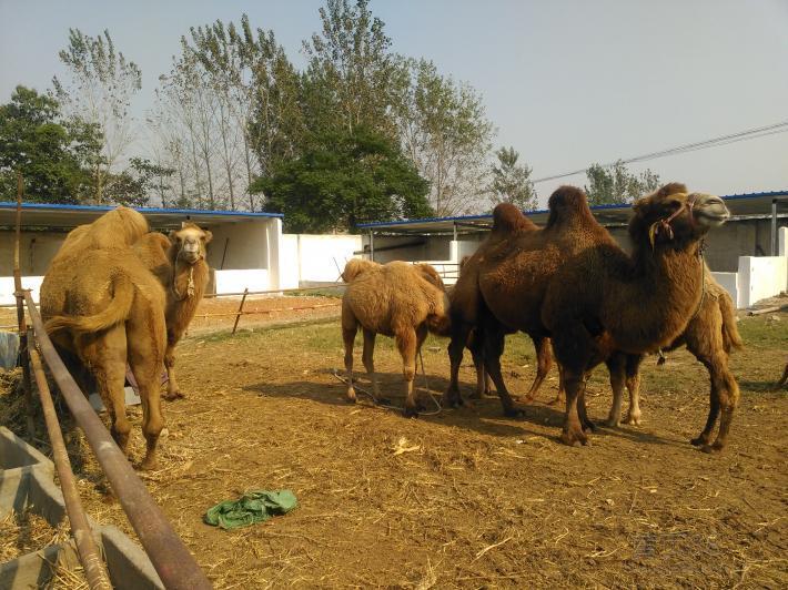 上城骆驼出售