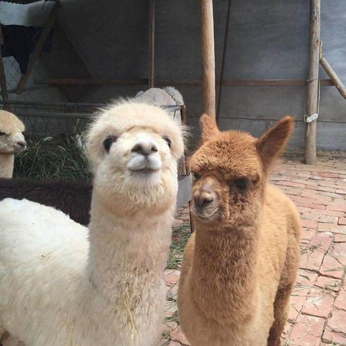 菏泽华卡约羊驼-羊驼养殖基地