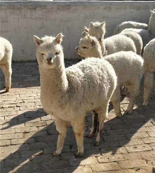 嘉兴羊驼养殖