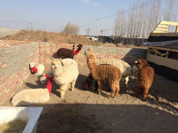 宜昌华卡约羊驼-羊驼养殖基地