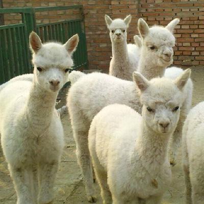 敦化羊驼哪家好